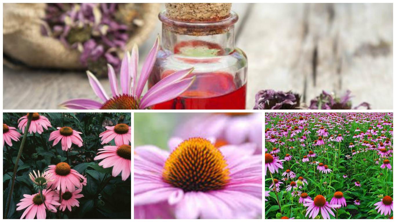 Hierba natural para prevenir contagios