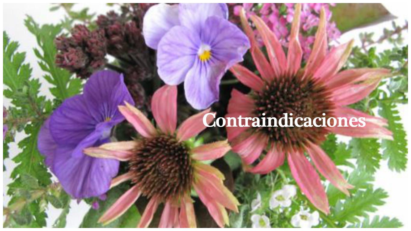 Contraindicaciones de la echinacea