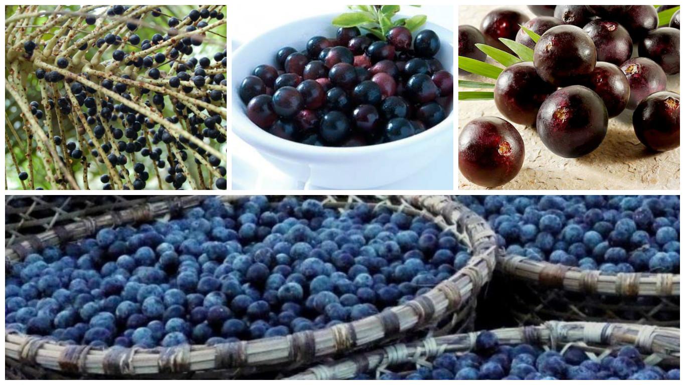 Frutos de Euturpe Oleracea