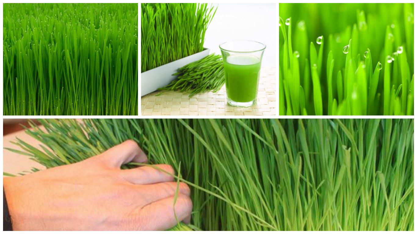 ¿Cuáles son los beneficios de la hierba de trigo?