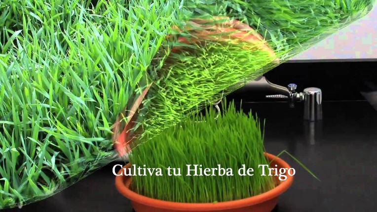 Planta pasto de trigo fresco y de muy buena calidad