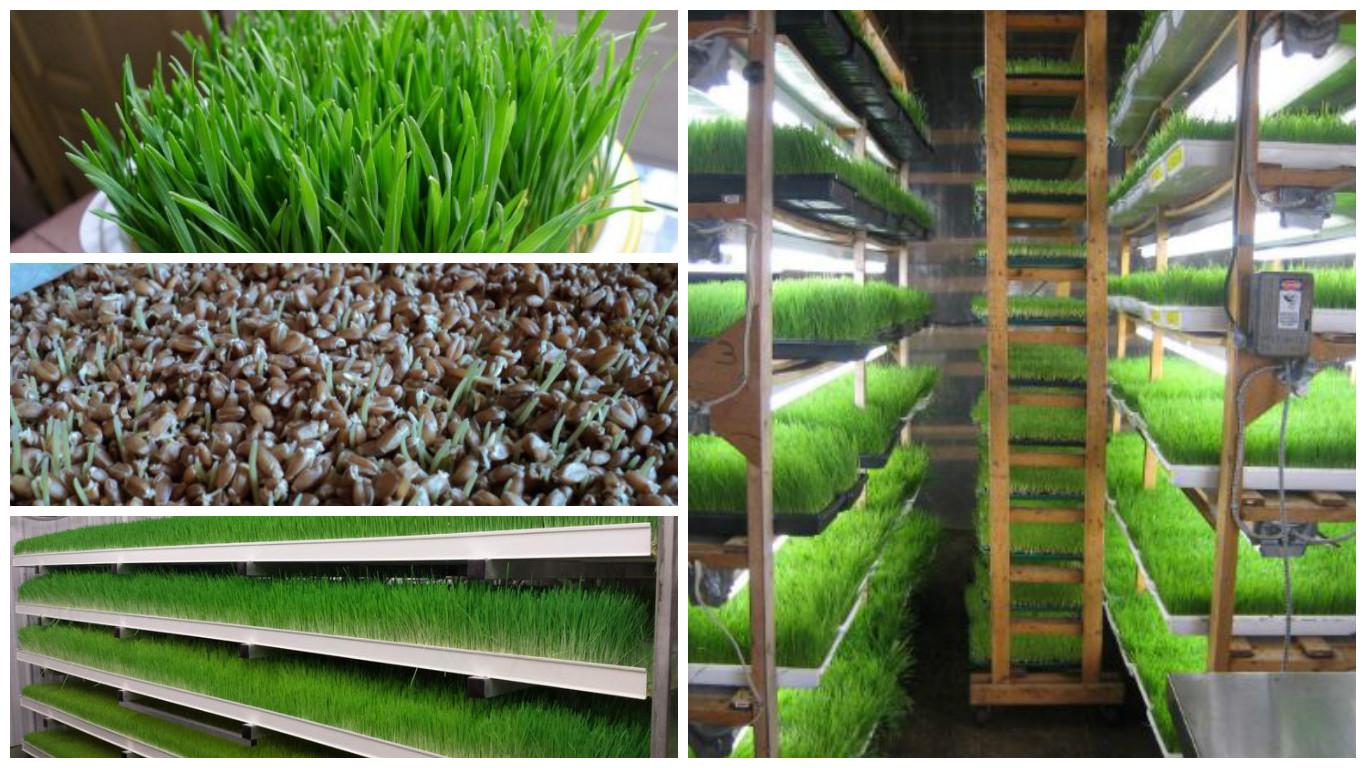 Cultivo y cosecha de Triticum aestivum