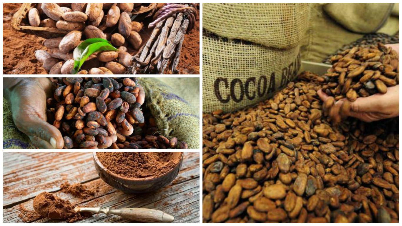 Cocoa ecológica