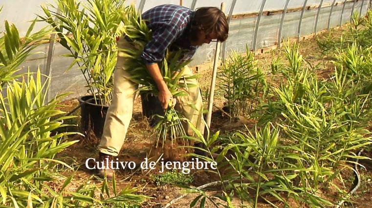 Cultivar kion en casa o en el huerto