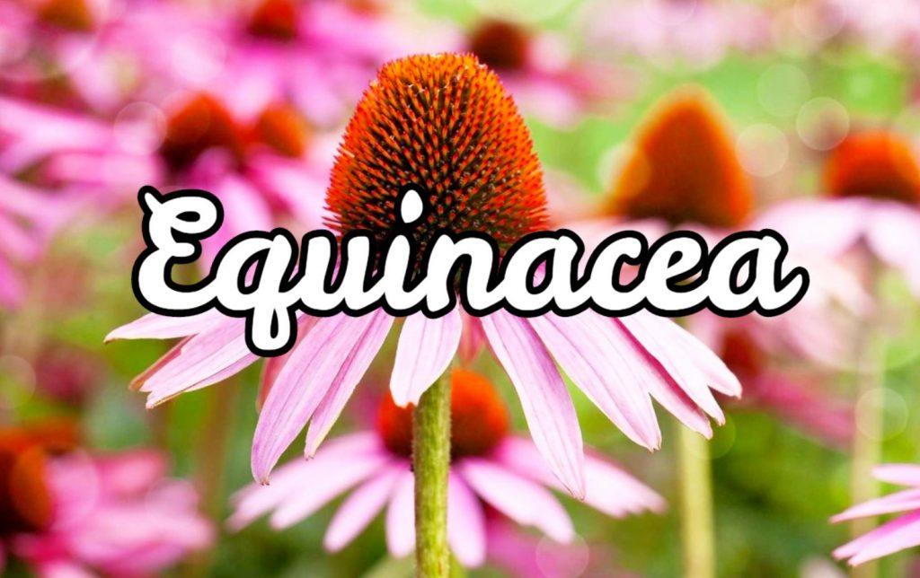 Equinacea
