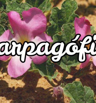 Harpagófito - Garra del diablo