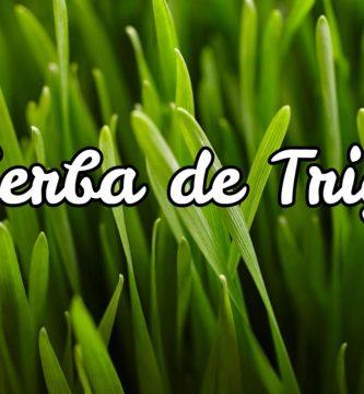 hierba de trigo - Wheatgrass