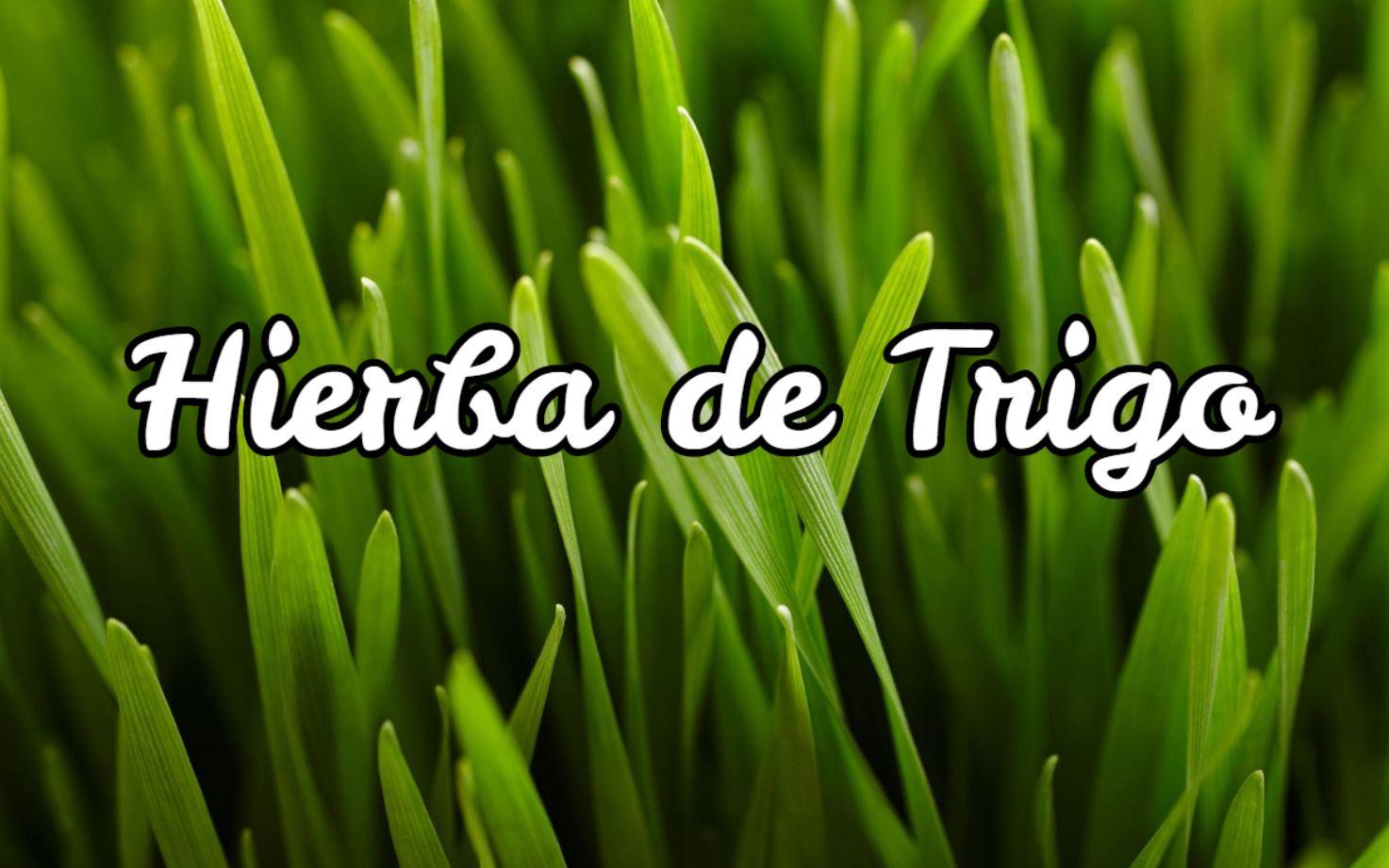 Hierba de Trigo - Propiedades, Beneficios y
